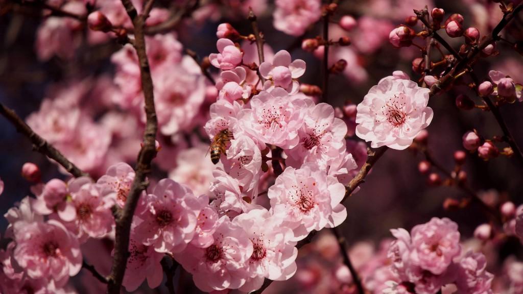 Цветущая слива крупным планом с пчелой
