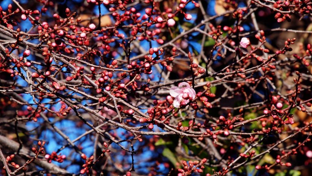 Слива, самое начало цветения