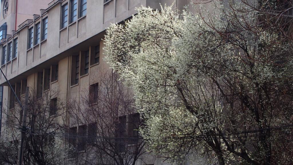 Белая слива на улице