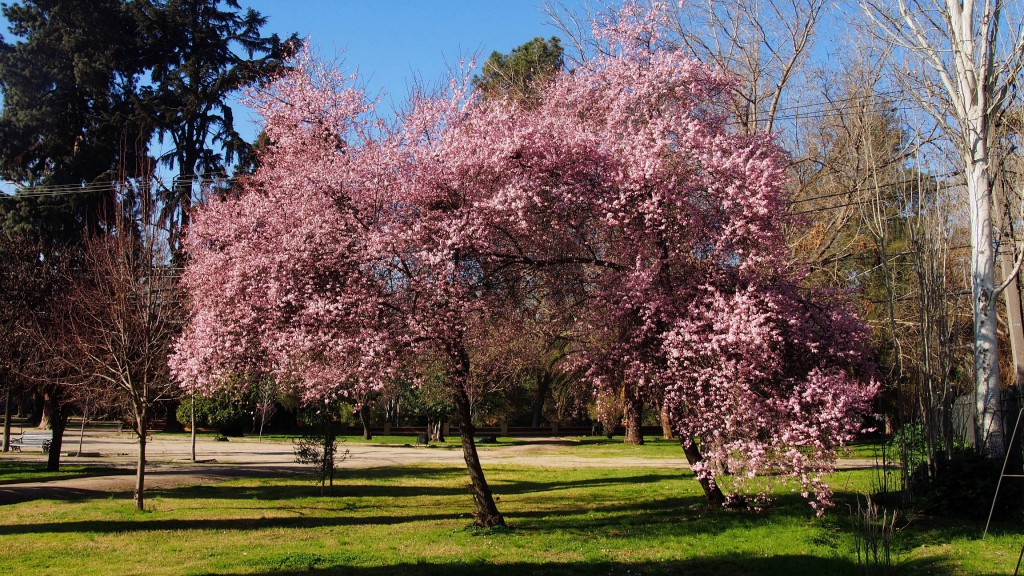 Розовая слива в парке
