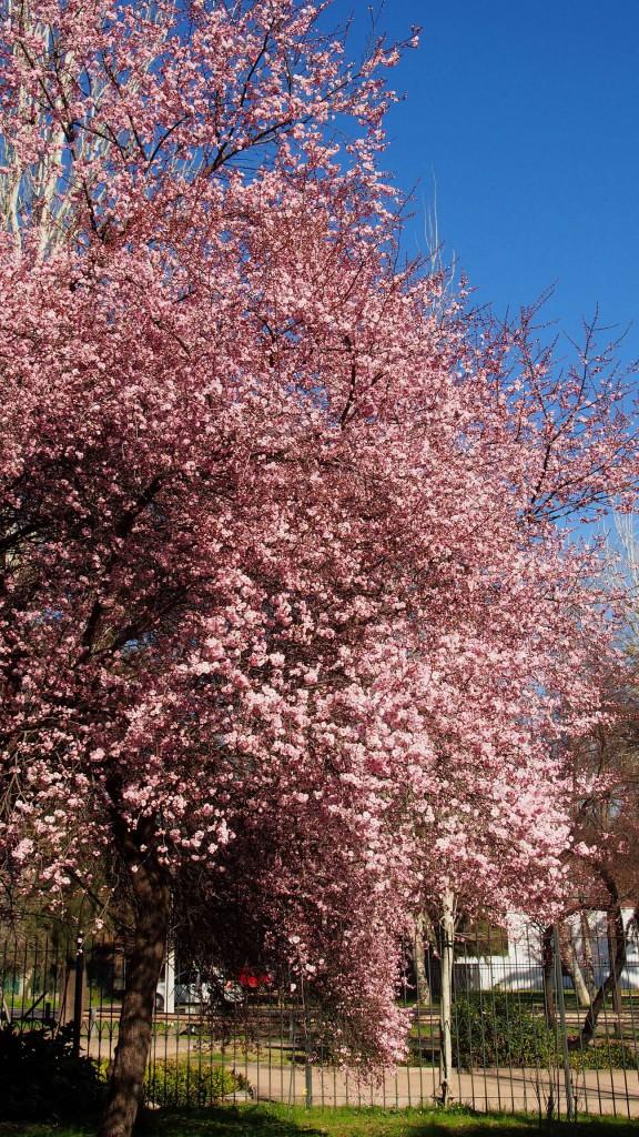 Розовая слива - водопад цветов