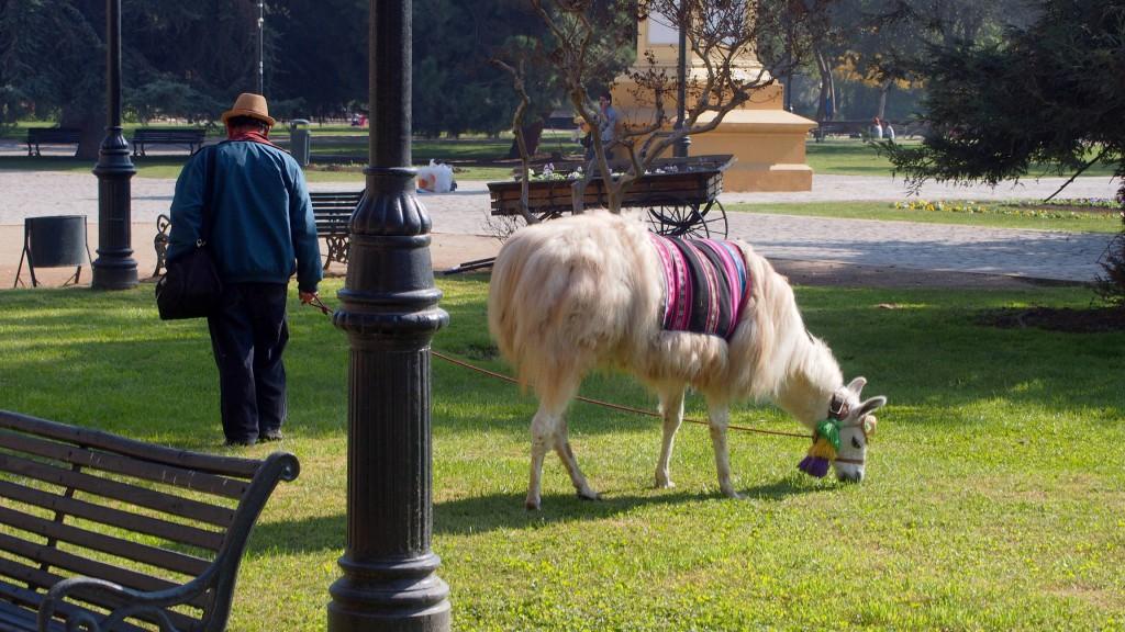 Лама в парке