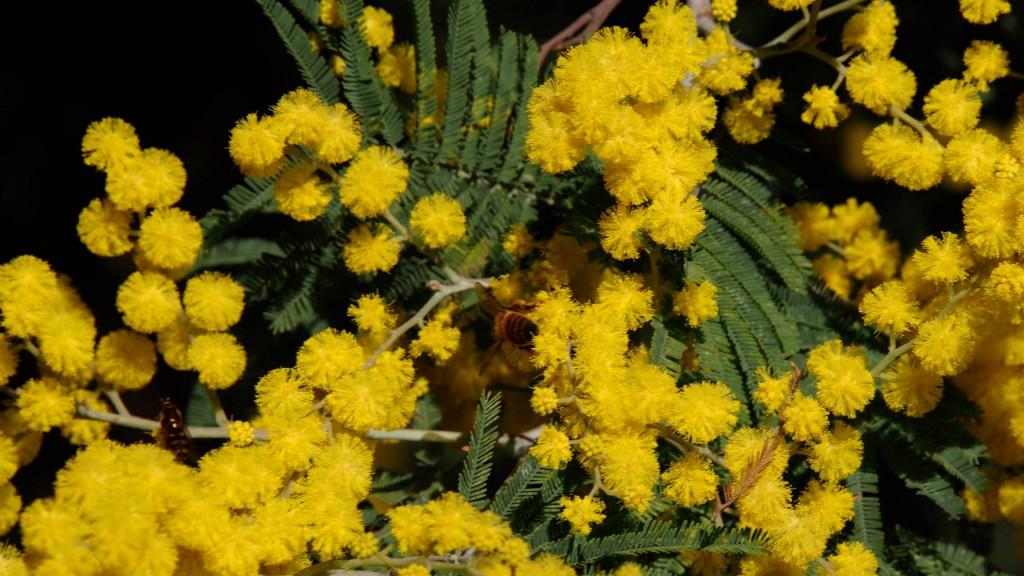Мимоза и пчела